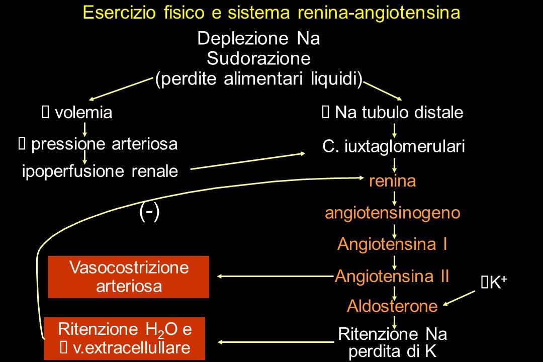 Esercizio fisico e sistema renina-angiotensina Deplezione Na Sudorazione (perdite alimentari liquidi) angiotensinogeno Angiotensina I Angiotensina II Aldosterone Ritenzione Na perdita di K K + Ritenzione H 2 O e v.extracellullare Vasocostrizione arteriosa pressione arteriosa ipoperfusione renale volemia Na tubulo distale (-) C.