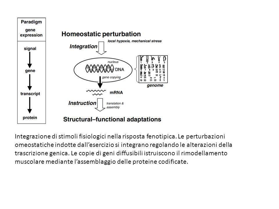Integrazione di stimoli fisiologici nella risposta fenotipica. Le perturbazioni omeostatiche indotte dallesercizio si integrano regolando le alterazio