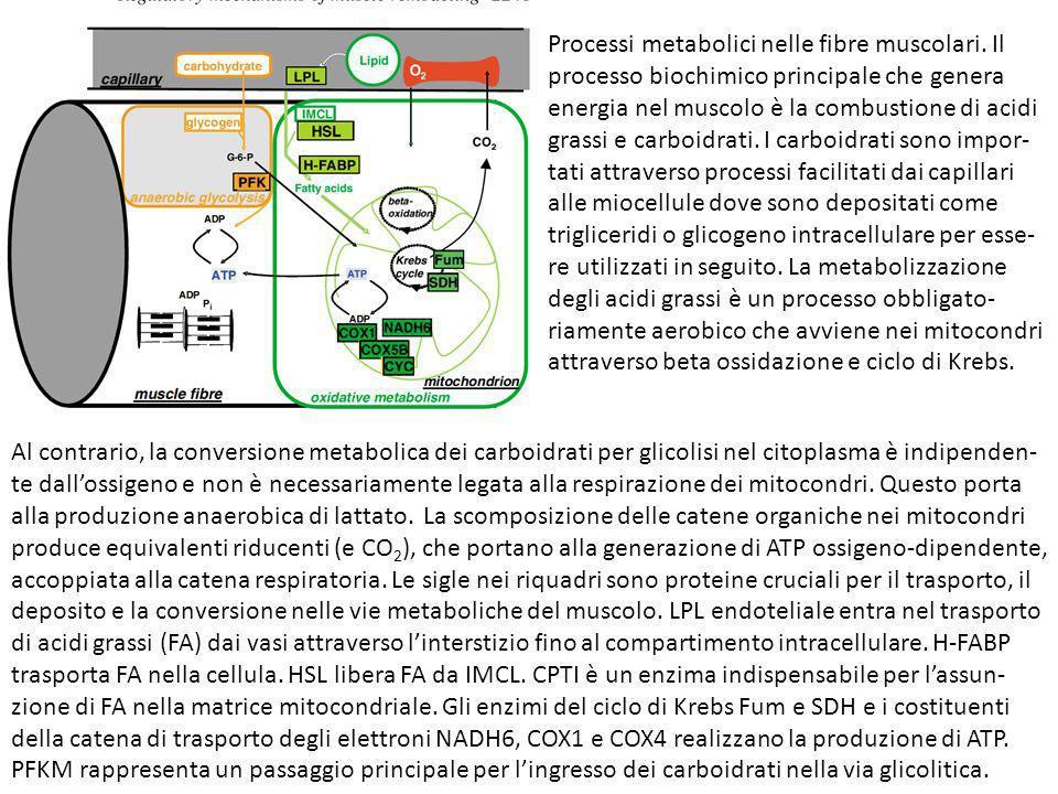 Processi metabolici nelle fibre muscolari. Il processo biochimico principale che genera energia nel muscolo è la combustione di acidi grassi e carboid