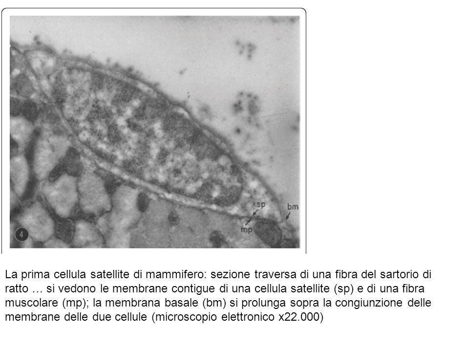 La prima cellula satellite di mammifero: sezione traversa di una fibra del sartorio di ratto … si vedono le membrane contigue di una cellula satellite