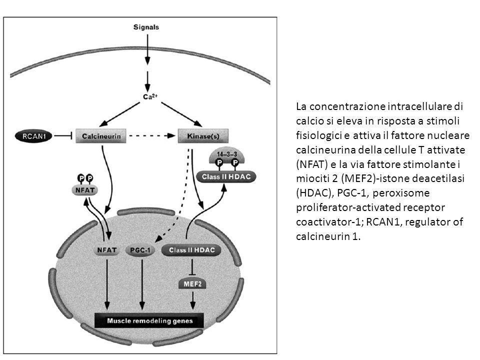 La concentrazione intracellulare di calcio si eleva in risposta a stimoli fisiologici e attiva il fattore nucleare calcineurina della cellule T attiva