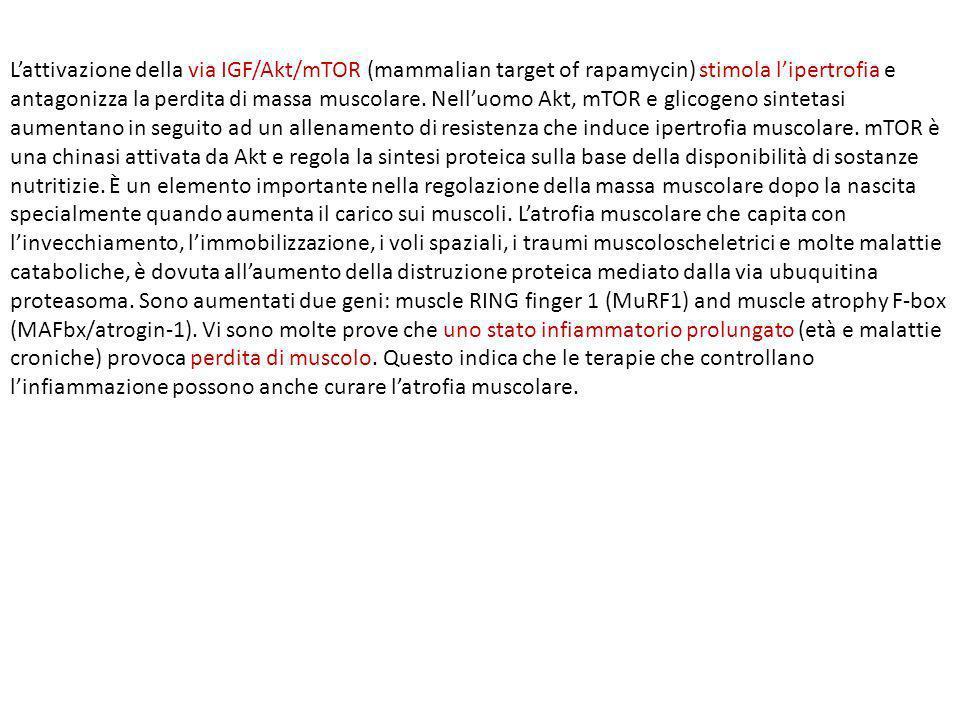 Lattivazione della via IGF/Akt/mTOR (mammalian target of rapamycin) stimola lipertrofia e antagonizza la perdita di massa muscolare. Nelluomo Akt, mTO