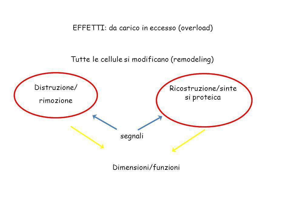 EFFETTI: da carico in eccesso (overload) Tutte le cellule si modificano (remodeling) Distruzione/ rimozione Ricostruzione/sinte si proteica Dimensioni