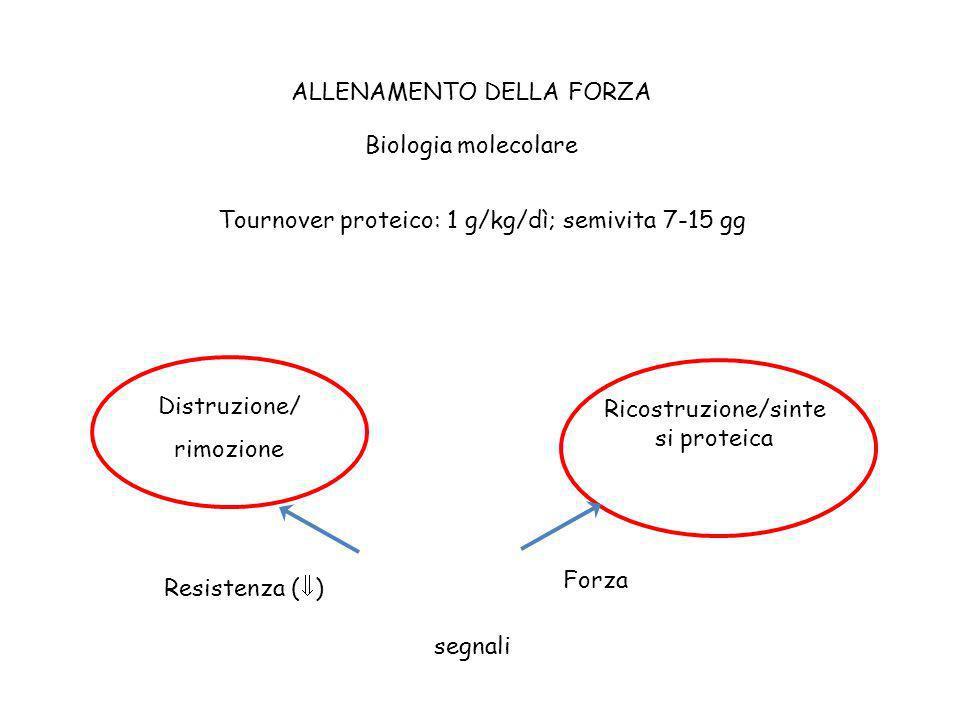 ALLENAMENTO DELLA FORZA Biologia molecolare Tournover proteico: 1 g/kg/dì; semivita 7-15 gg Distruzione/ rimozione Ricostruzione/sinte si proteica seg