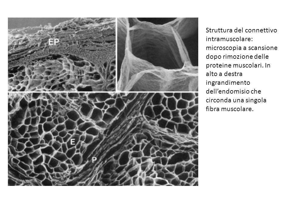 Struttura del connettivo intramuscolare: microscopia a scansione dopo rimozione delle proteine muscolari. In alto a destra ingrandimento dellendomisio