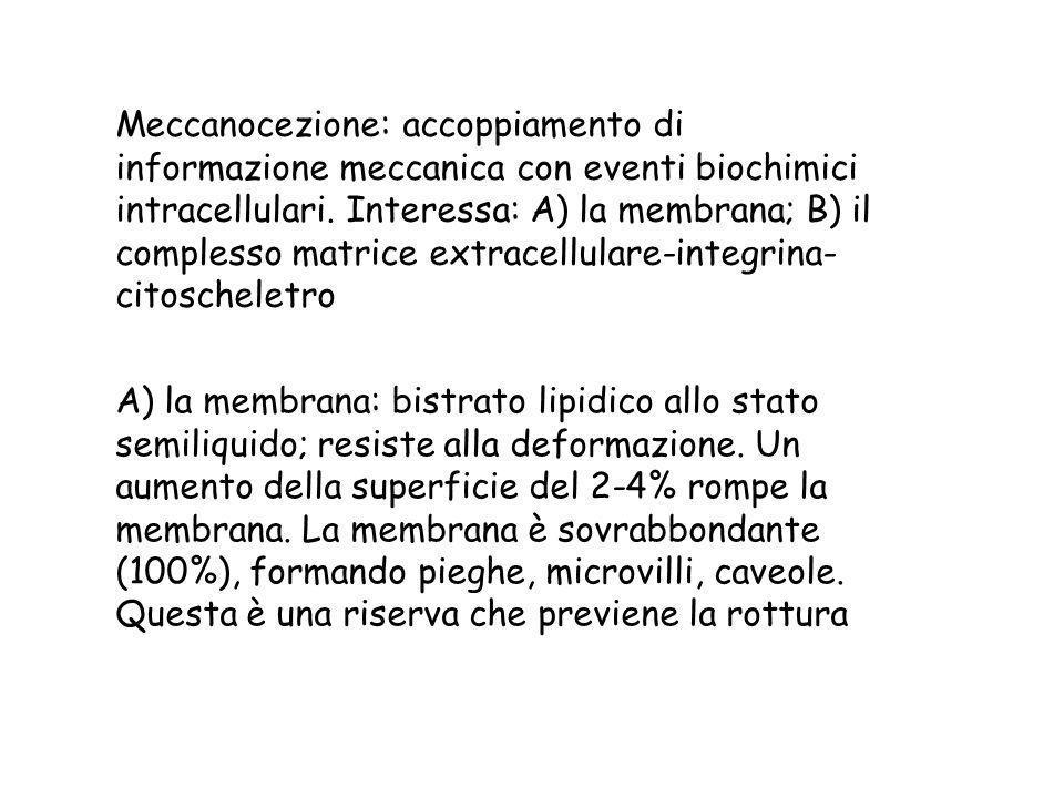 Meccanocezione: accoppiamento di informazione meccanica con eventi biochimici intracellulari. Interessa: A) la membrana; B) il complesso matrice extra