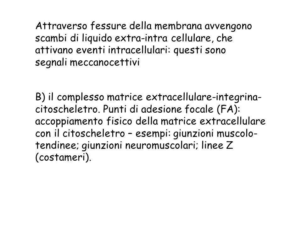 Attraverso fessure della membrana avvengono scambi di liquido extra-intra cellulare, che attivano eventi intracellulari: questi sono segnali meccanoce