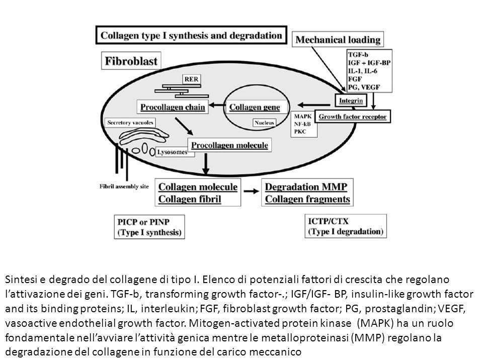 Sintesi e degrado del collagene di tipo I. Elenco di potenziali fattori di crescita che regolano lattivazione dei geni. TGF-b, transforming growth fac