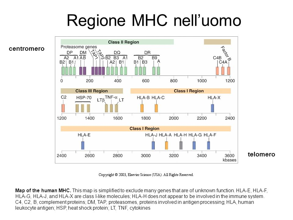 Map of the human MHC. This map is simplified to exclude many genes that are of unknown function. HLA-E, HLA-F, HLA-G, HLA-J, and HLA-X are class I-lik
