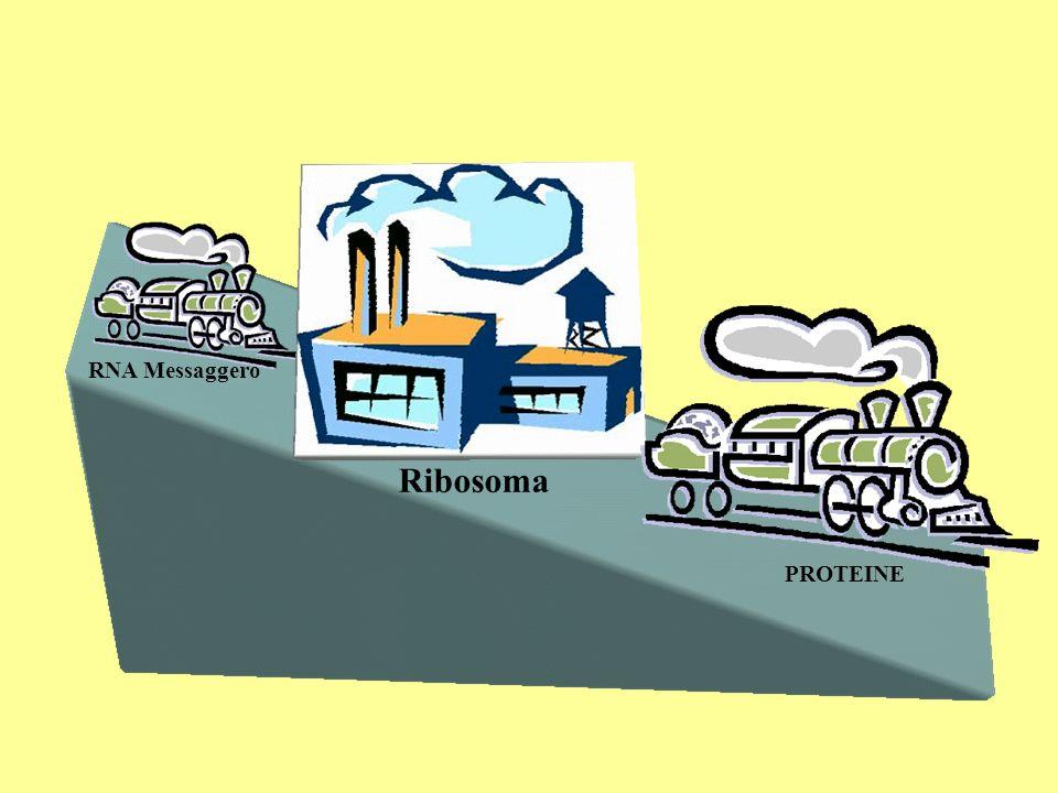 PROTEINE Ribosoma RNA Messaggero