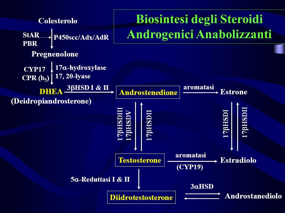Colesterolo Pregnenolone DHEA (Deidropiandrosterone) Estrone Androstenedione Testosterone Diidrotestosterone Estradiolo P450scc/Adx/AdR StAR PBR 3 HSD