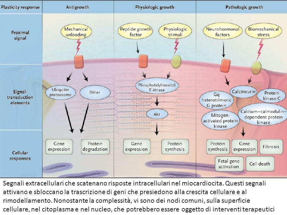 Segnali extracellulari che scatenano risposte intracellulari nel miocardiocita. Questi segnali attivano e sbloccano la trascrizione di geni che presie