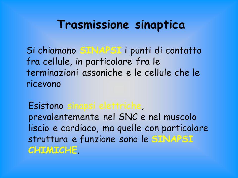 Trasmissione sinaptica Si chiamano SINAPSI i punti di contatto fra cellule, in particolare fra le terminazioni assoniche e le cellule che le ricevono