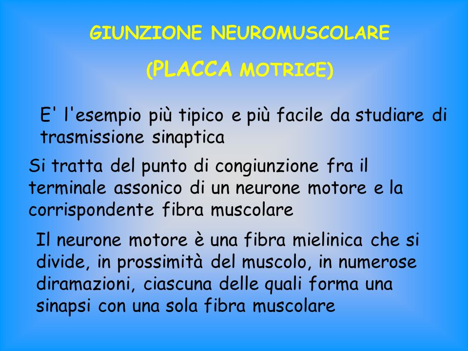 GIUNZIONE NEUROMUSCOLARE ( PLACCA MOTRICE) E' l'esempio più tipico e più facile da studiare di trasmissione sinaptica Si tratta del punto di congiunzi