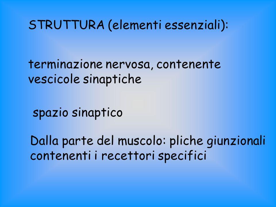 STRUTTURA (elementi essenziali): terminazione nervosa, contenente vescicole sinaptiche spazio sinaptico Dalla parte del muscolo: pliche giunzionali co