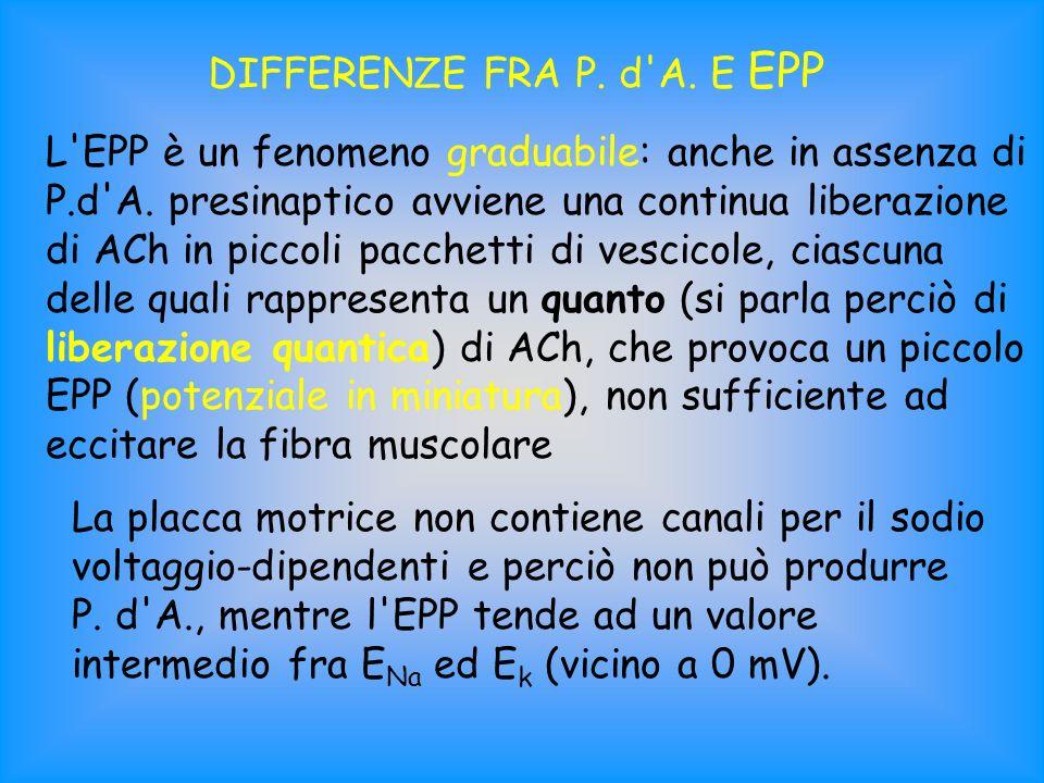 DIFFERENZE FRA P. d'A. E EPP L'EPP è un fenomeno graduabile: anche in assenza di P.d'A. presinaptico avviene una continua liberazione di ACh in piccol