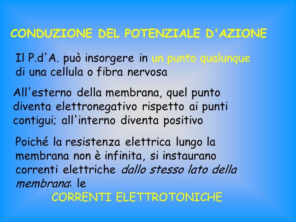 CONDUZIONE DEL POTENZIALE D'AZIONE Il P.d'A. può insorgere in un punto qualunque di una cellula o fibra nervosa All'esterno della membrana, quel punto