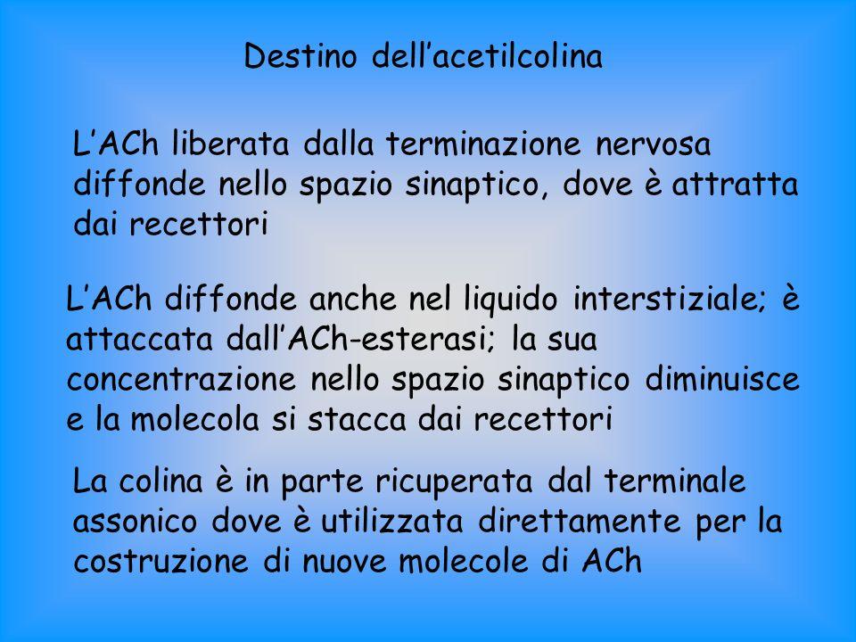 Destino dellacetilcolina LACh liberata dalla terminazione nervosa diffonde nello spazio sinaptico, dove è attratta dai recettori LACh diffonde anche n