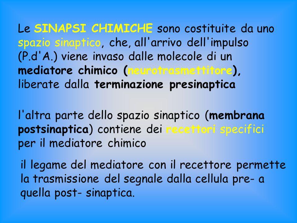 Le SINAPSI CHIMICHE sono costituite da uno spazio sinaptico, che, all'arrivo dell'impulso (P.d'A.) viene invaso dalle molecole di un mediatore chimico