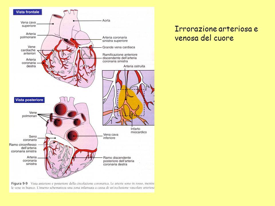 Irrorazione arteriosa e venosa del cuore