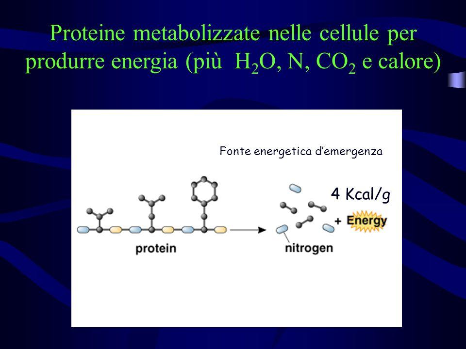 Proteine metabolizzate nelle cellule per produrre energia (più H 2 O, N, CO 2 e calore) 4 Kcal/g Fonte energetica demergenza