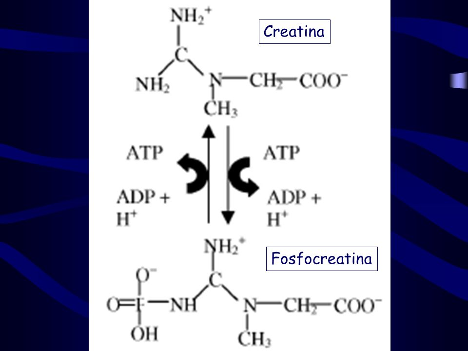 Creatina Fosfocreatina
