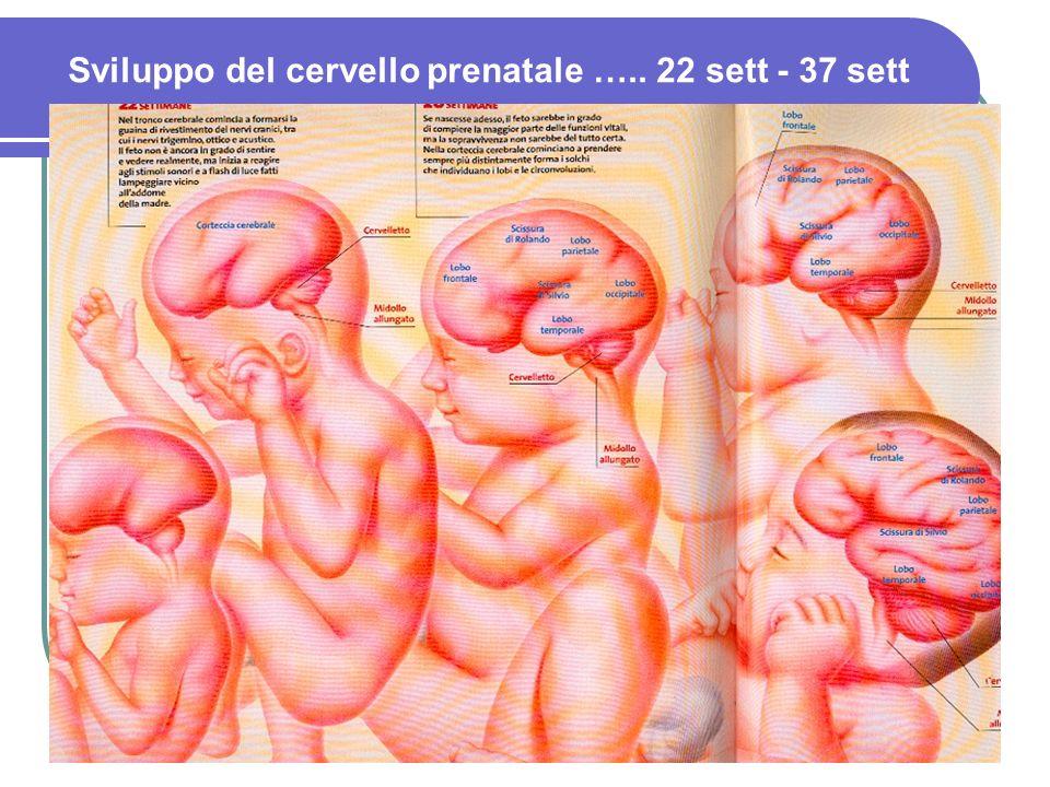 5 Sviluppo del cervello prenatale ….. 22 sett - 37 sett