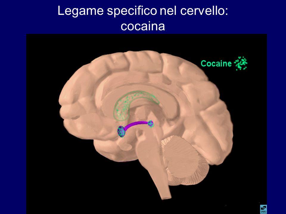 Legame specifico nel cervello: cocaina