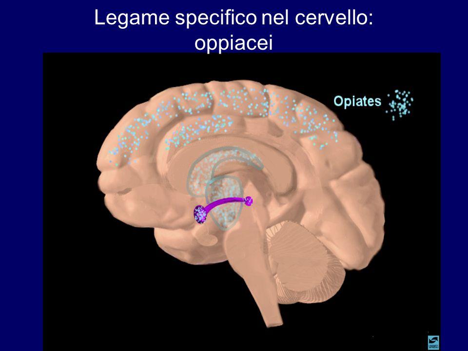Legame specifico nel cervello: oppiacei