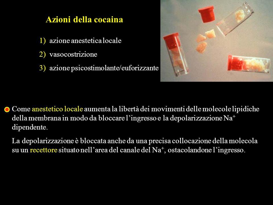 Azioni della cocaina 1) azione anestetica locale 2) vasocostrizione 3) azione psicostimolante/euforizzante Come anestetico locale aumenta la libertà d