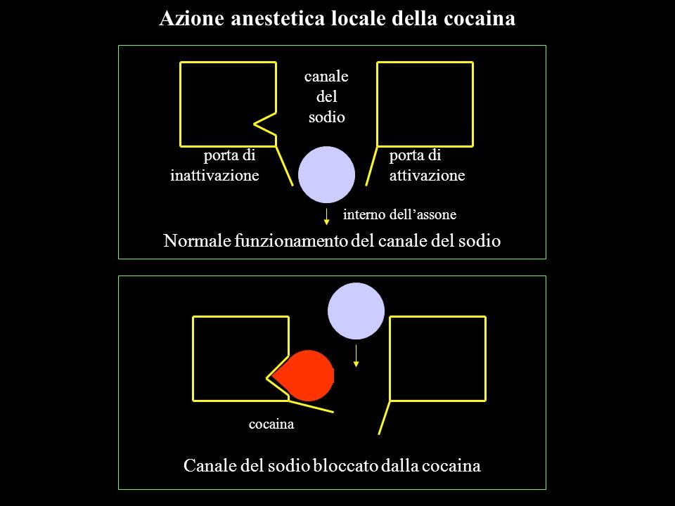 canale del sodio porta di inattivazione porta di attivazione interno dellassone cocaina Azione anestetica locale della cocaina Normale funzionamento d