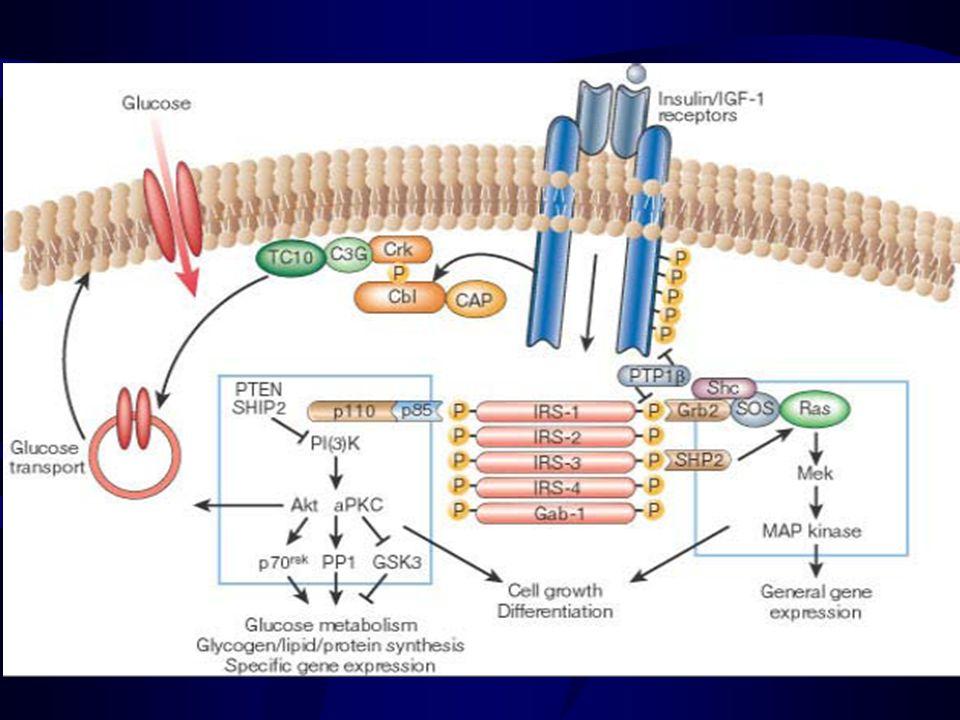sintesi glicogeno glicogenolisi sintesi trigliceridi ketogenesi gluconeogenesi utilizzo glucosio sintesi proteine degradazione proteica sintesi glicogeno glicogenolisi utilizzo glucosio accumulo trigliceridi lipolisi Stimola Inibisce u Fegato u Muscolo scheletrico u Tessuto adiposo Promuove processi anabolici Inibisce processi catabolici Effetti dellinsulina