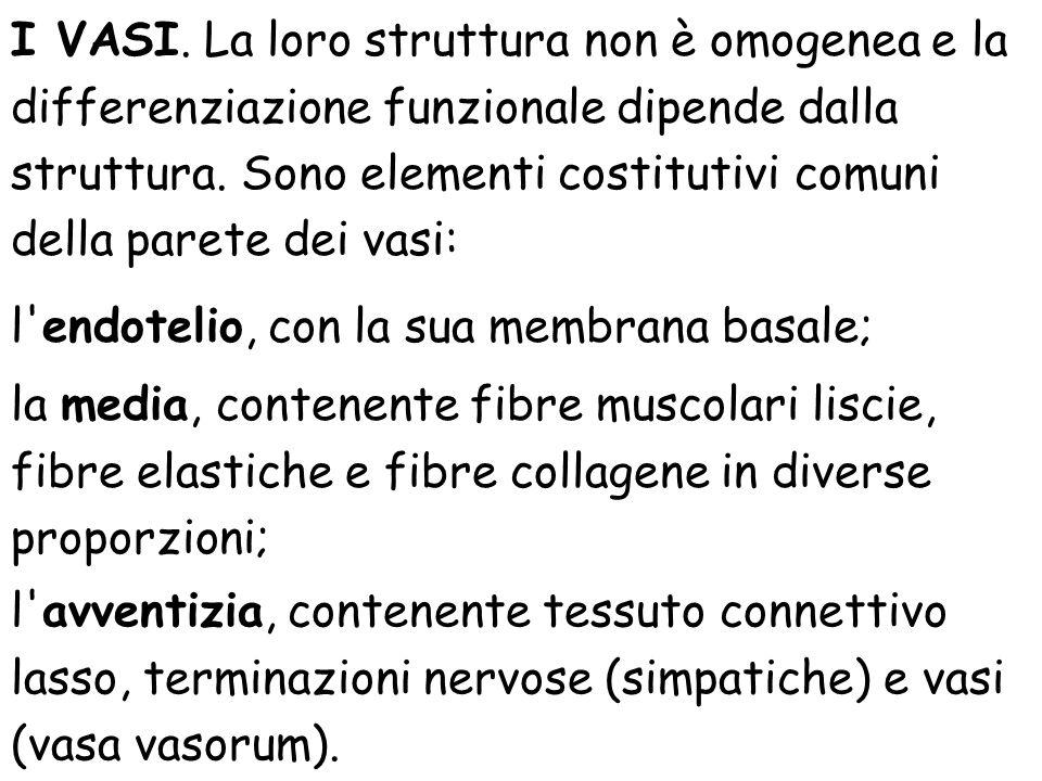 I VASI. La loro struttura non è omogenea e la differenziazione funzionale dipende dalla struttura. Sono elementi costitutivi comuni della parete dei v