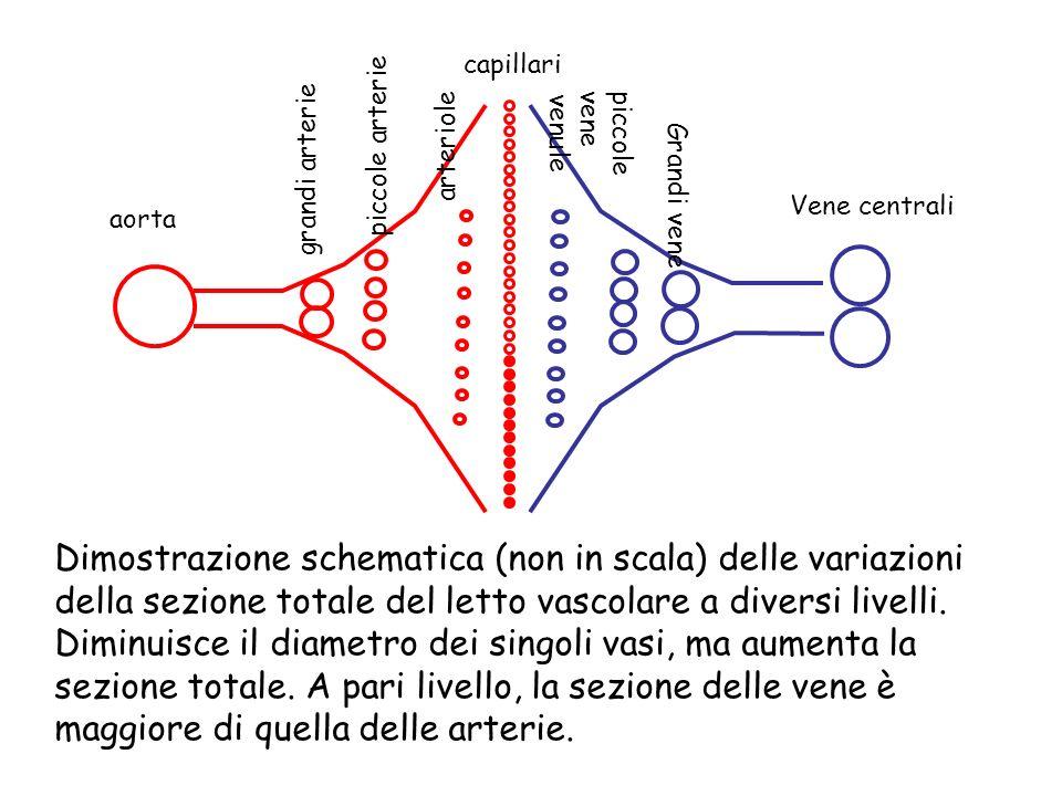 aorta grandi arterie piccole arterie arteriole capillari venule piccole vene Grandi vene Vene centrali Dimostrazione schematica (non in scala) delle v
