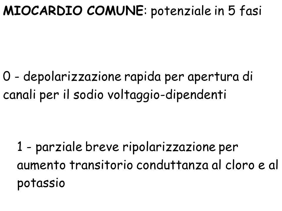 MIOCARDIO COMUNE: potenziale in 5 fasi 0 - depolarizzazione rapida per apertura di canali per il sodio voltaggio-dipendenti 1 - parziale breve ripolar