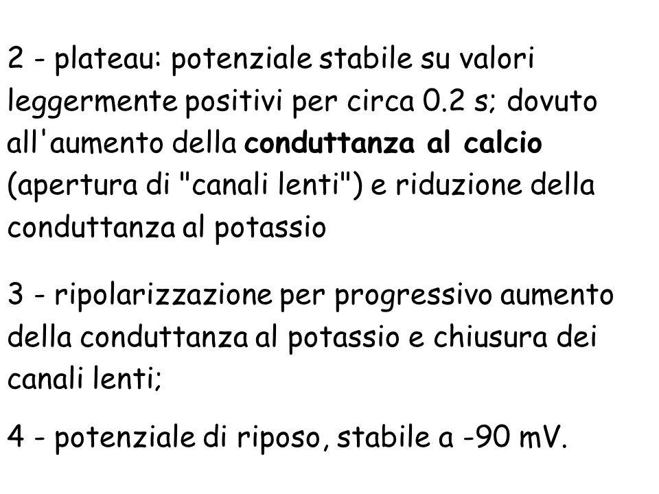 3 - ripolarizzazione per progressivo aumento della conduttanza al potassio e chiusura dei canali lenti; 4 - potenziale di riposo, stabile a -90 mV. 2