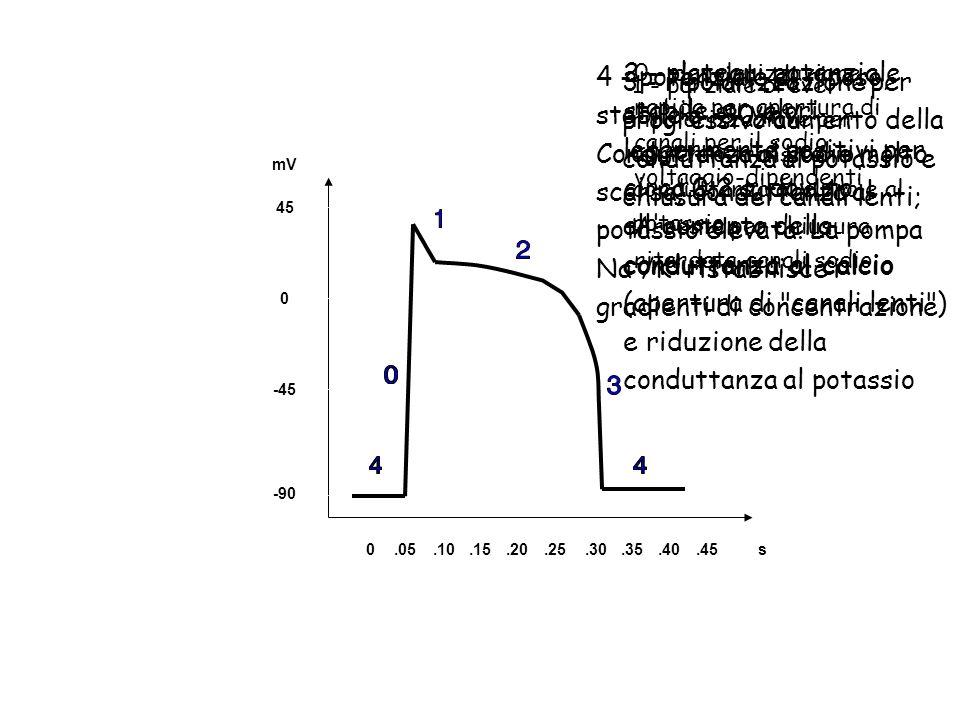 0.05.10.15.20.25.30.35.40.45s -90 -45 0 45 mV 0 - depolarizzazione rapida per apertura di canali per il sodio voltaggio-dipendenti Arresto per chiusur