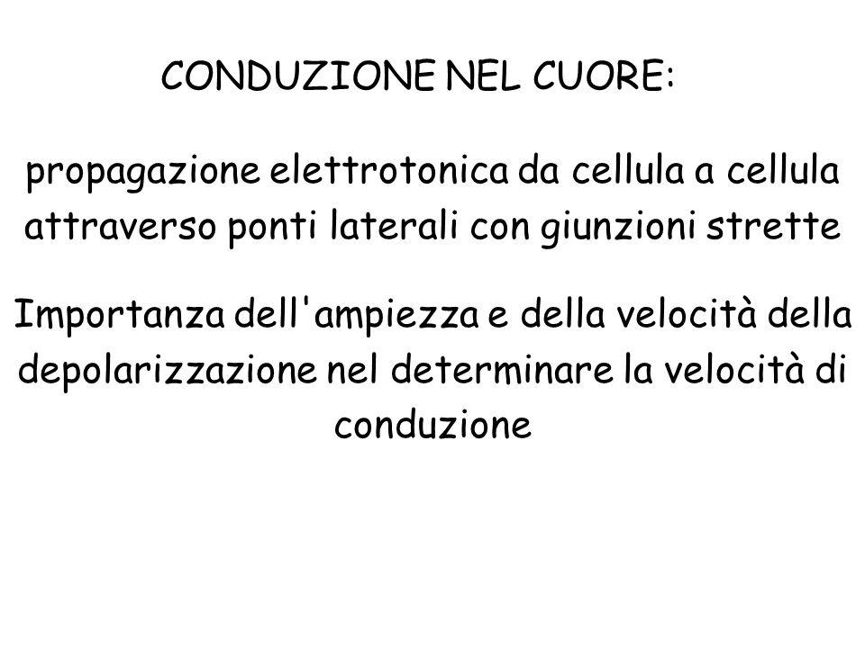 CONDUZIONE NEL CUORE: propagazione elettrotonica da cellula a cellula attraverso ponti laterali con giunzioni strette Importanza dell'ampiezza e della