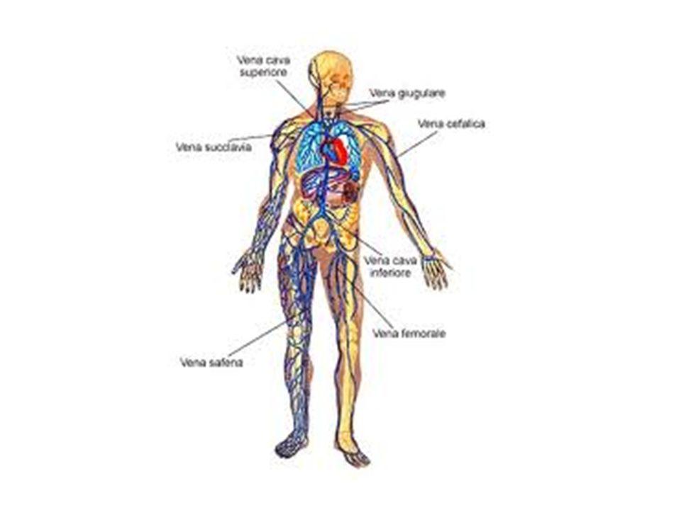 CIRCOLO POLMONARE: minori differenze fra arterie e vene; scarsa componente muscolare; mancano le arteriole (pressione più bassa).
