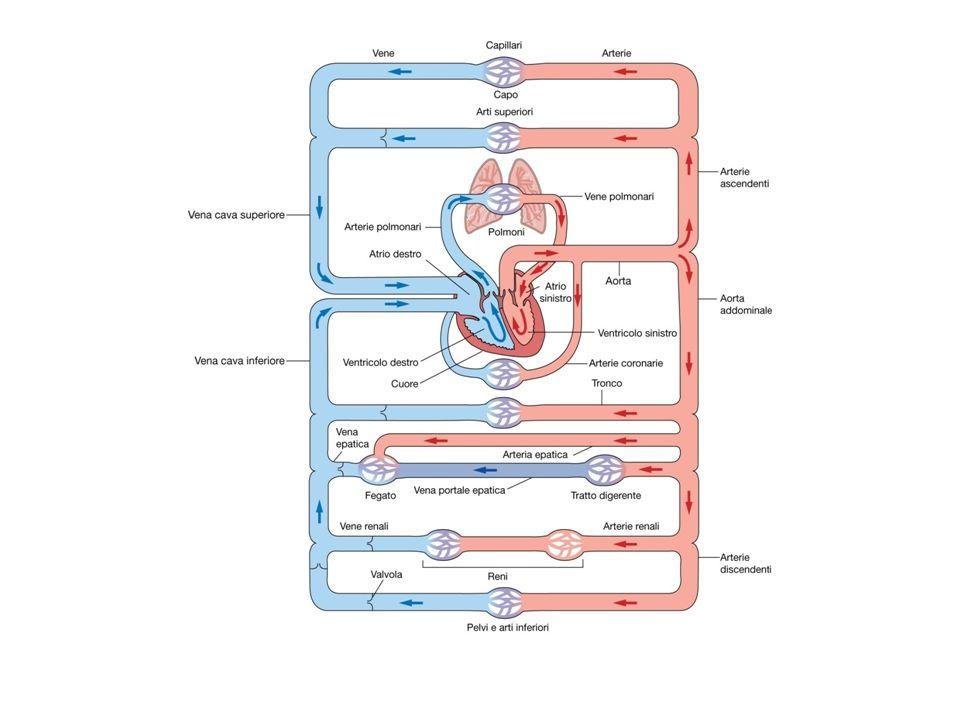 V. sx Atrio dx 0 120 mmHg 60 Arterie grandi Arterie piccole Arteriole Capillari Venule Vene Aorta