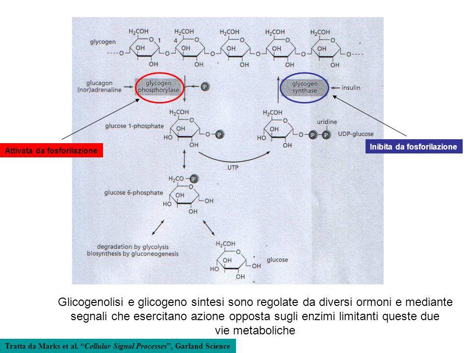 Glicogenolisi e glicogeno sintesi sono regolate da diversi ormoni e mediante segnali che esercitano azione opposta sugli enzimi limitanti queste due v