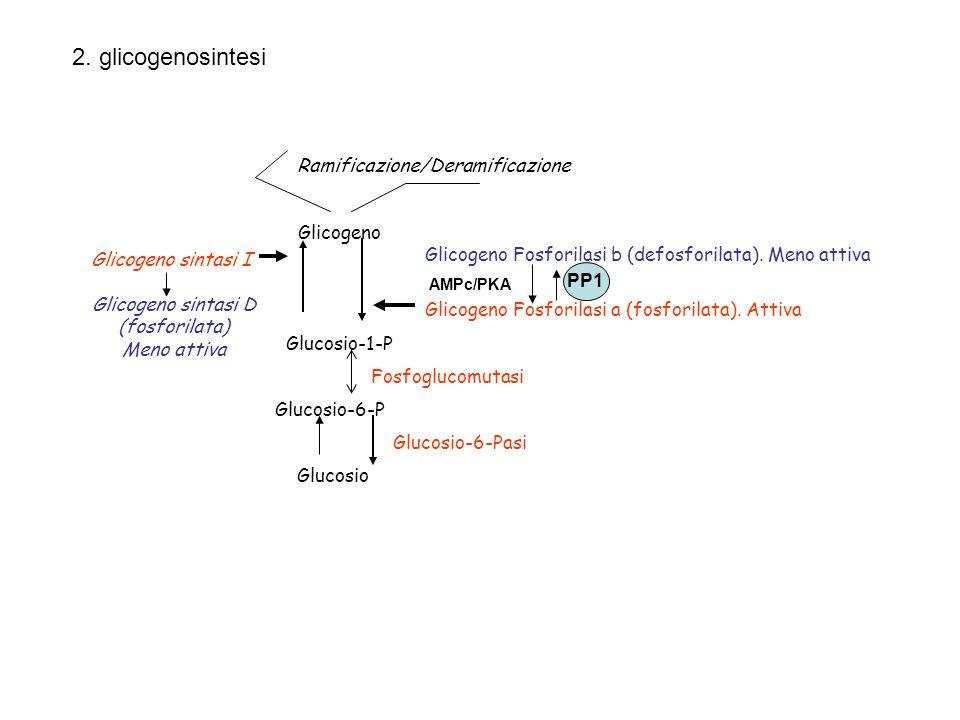 Glucosio-1-P Glucosio-6-P Glicogeno Glicogeno Fosforilasi a (fosforilata). Attiva Glicogeno Fosforilasi b (defosforilata). Meno attiva Glucosio Glucos