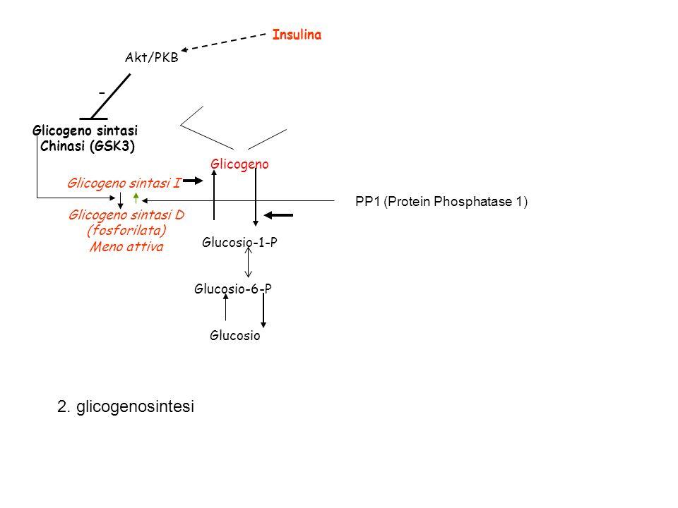 Glucosio-1-P Glucosio-6-P Glicogeno Glucosio Glicogeno sintasi I Glicogeno sintasi D (fosforilata) Meno attiva Glicogeno sintasi Chinasi (GSK3) Insuli