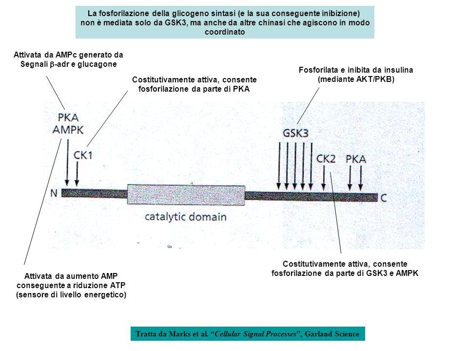 La fosforilazione della glicogeno sintasi (e la sua conseguente inibizione) non è mediata solo da GSK3, ma anche da altre chinasi che agiscono in modo