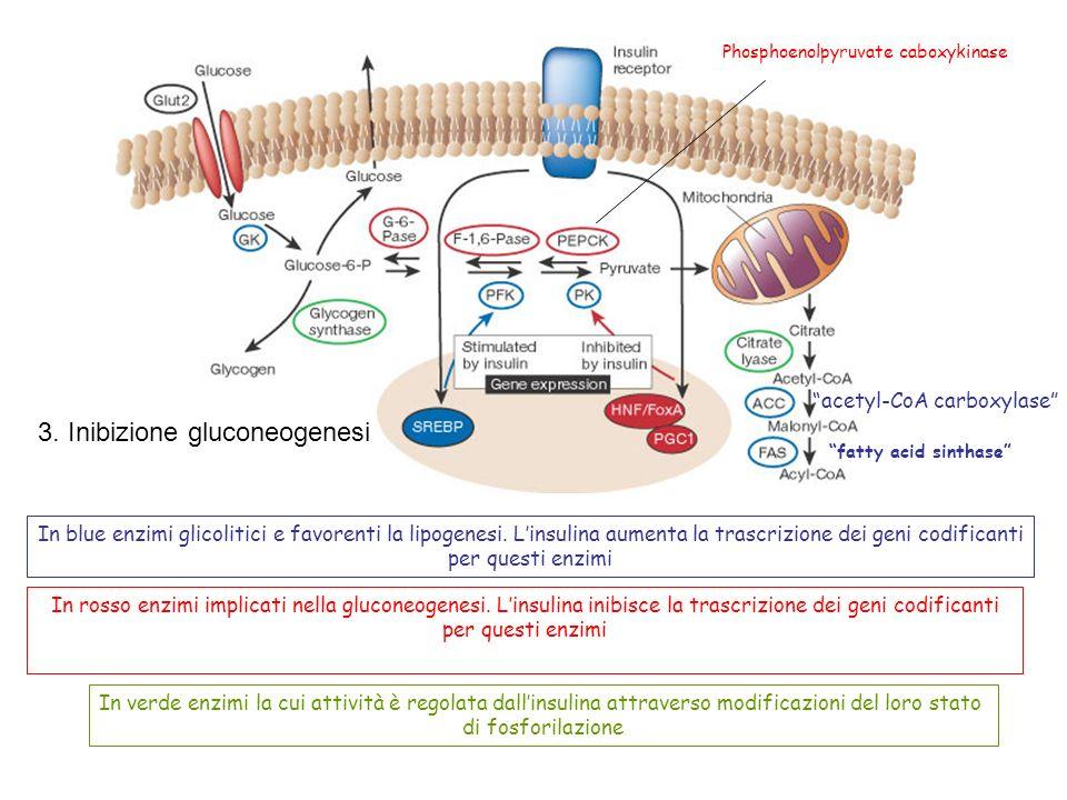 In blue enzimi glicolitici e favorenti la lipogenesi. Linsulina aumenta la trascrizione dei geni codificanti per questi enzimi fatty acid sinthase ace