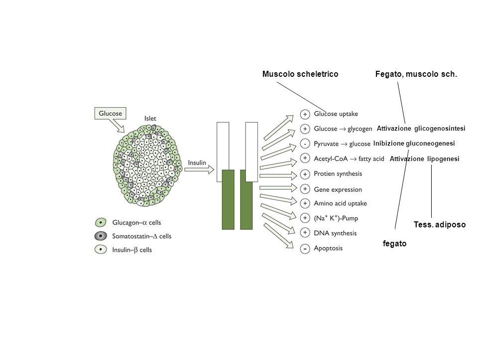 Attivazione glicogenosintesi Inibizione gluconeogenesi Attivazione lipogenesi Muscolo scheletricoFegato, muscolo sch. fegato Tess. adiposo