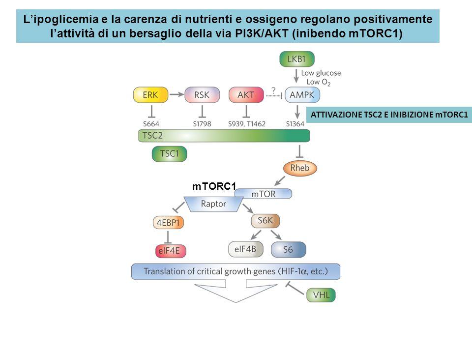 mTORC1 ATTIVAZIONE TSC2 E INIBIZIONE mTORC1 Lipoglicemia e la carenza di nutrienti e ossigeno regolano positivamente lattività di un bersaglio della v
