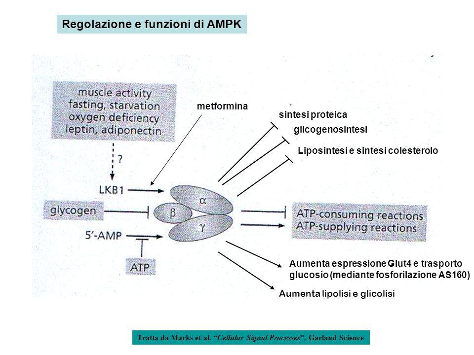 Tratta da Marks et al. Cellular Signal Processes, Garland Science Liposintesi e sintesi colesterolo Regolazione e funzioni di AMPK metformina glicogen