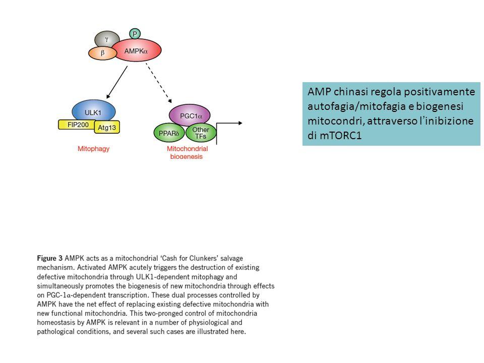 AMP chinasi regola positivamente autofagia/mitofagia e biogenesi mitocondri, attraverso linibizione di mTORC1
