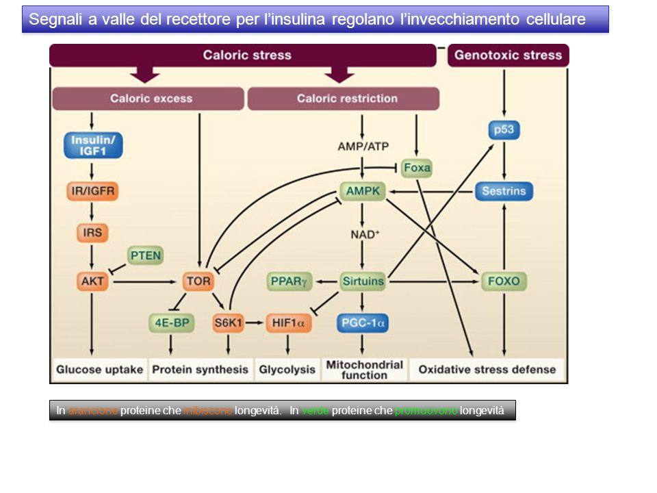 Segnali a valle del recettore per linsulina regolano linvecchiamento cellulare In arancione proteine che inibiscono longevità. In verde proteine che p